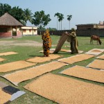 Women_drying_rice