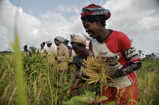 rice-harvesting